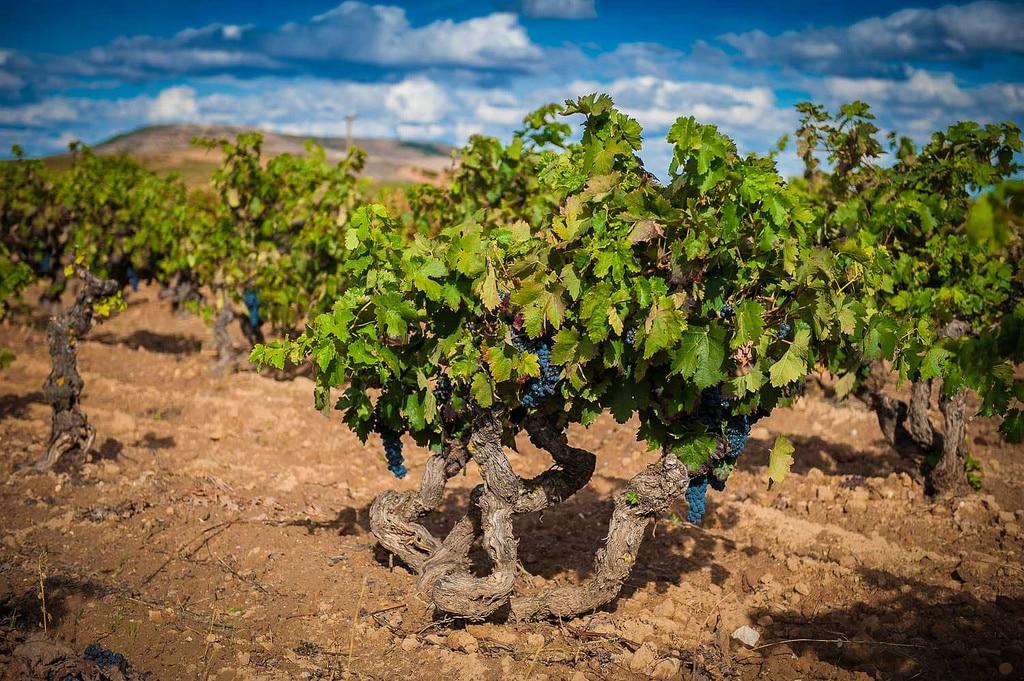 DO Ribera del Duero- Vintage 2019 wijn excellent