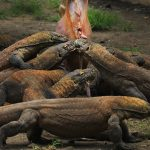 indonesie komodo eilanden bezoeken